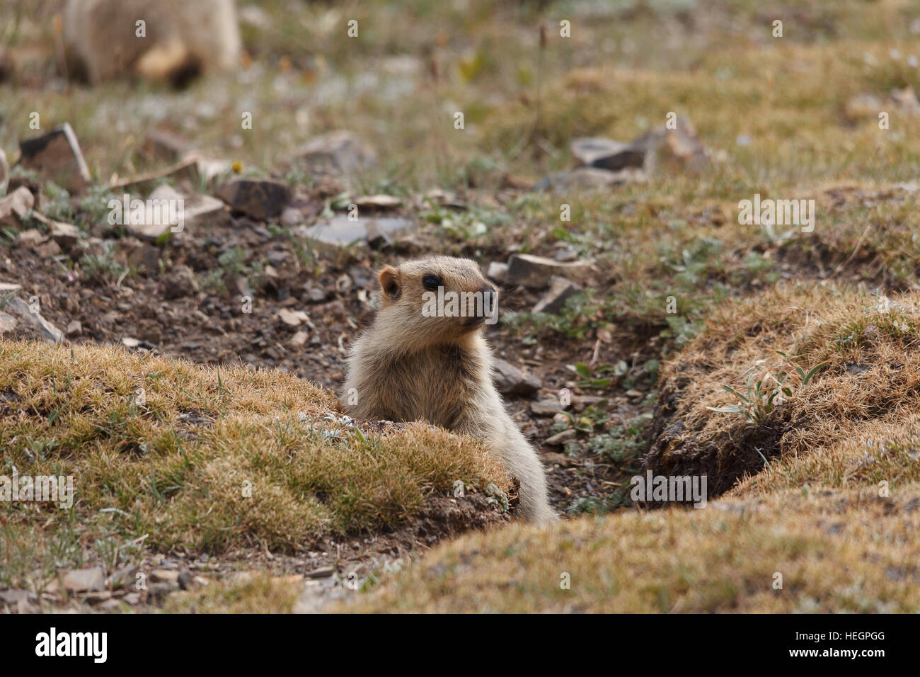 Young Himalayan marmot near its den, Tibetan plateau, Qinghai province, China - Stock Image