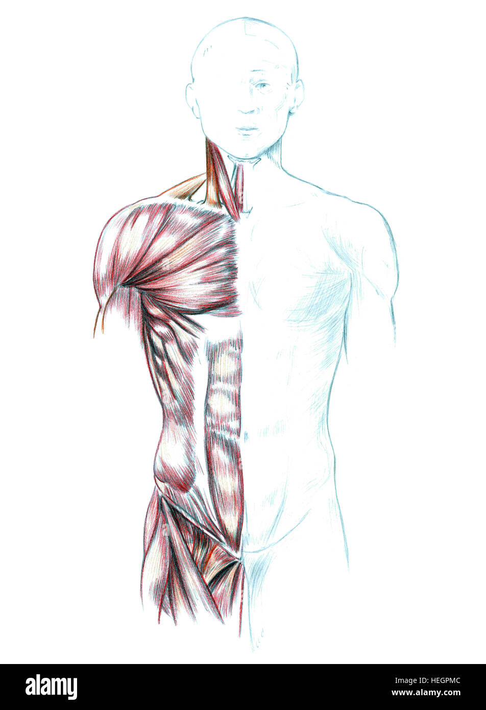 Deltoid Muscle Anatomy Muscles Isolated Stock Photos & Deltoid ...