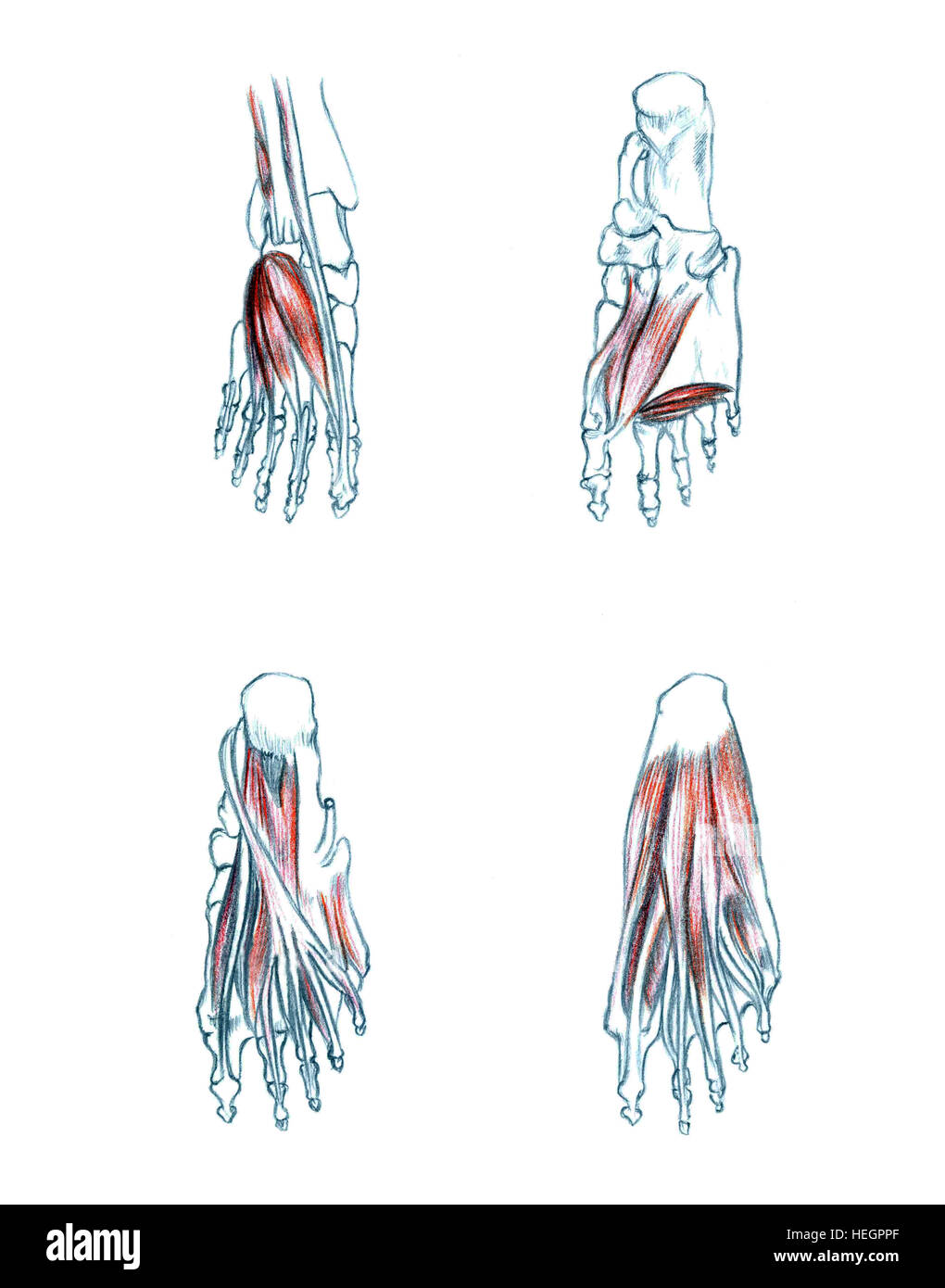 Muscles Of Foot Hand Drawn Medical Illustration Drawing With Stock Photo Alamy