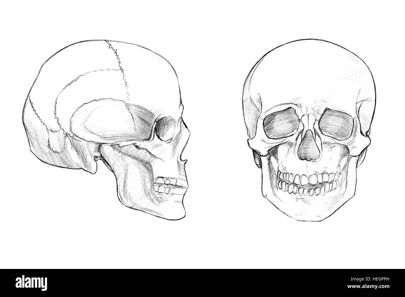 Skull Face And Profile Hand Drawn Medical Illustration Drawing