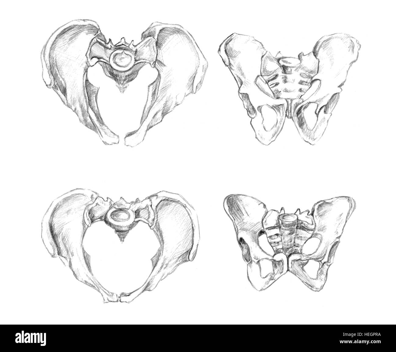 pelvis 2 angels male at the top and female at the bottom of stock