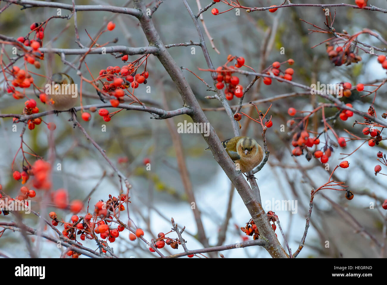 Chaffinches sitting on rowan branches - Stock Image