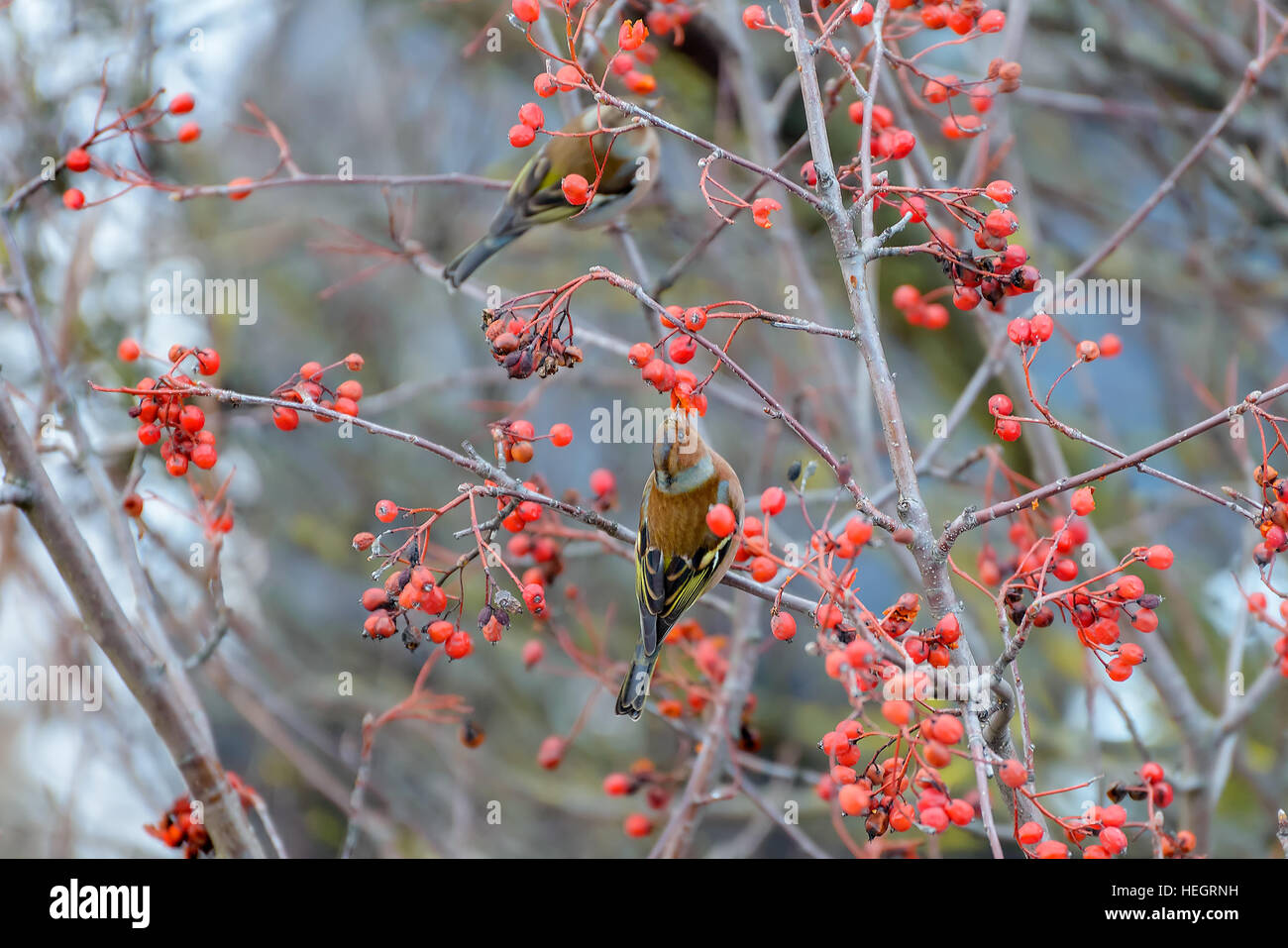 Chaffinches sitting on the branches of a Rowan tree and eats the berries - Stock Image