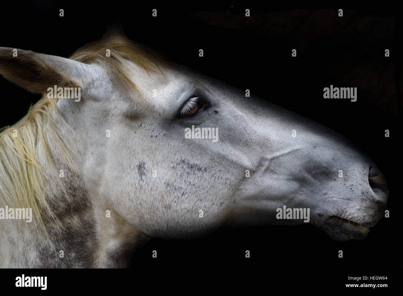 White horse head isolated on black stock image