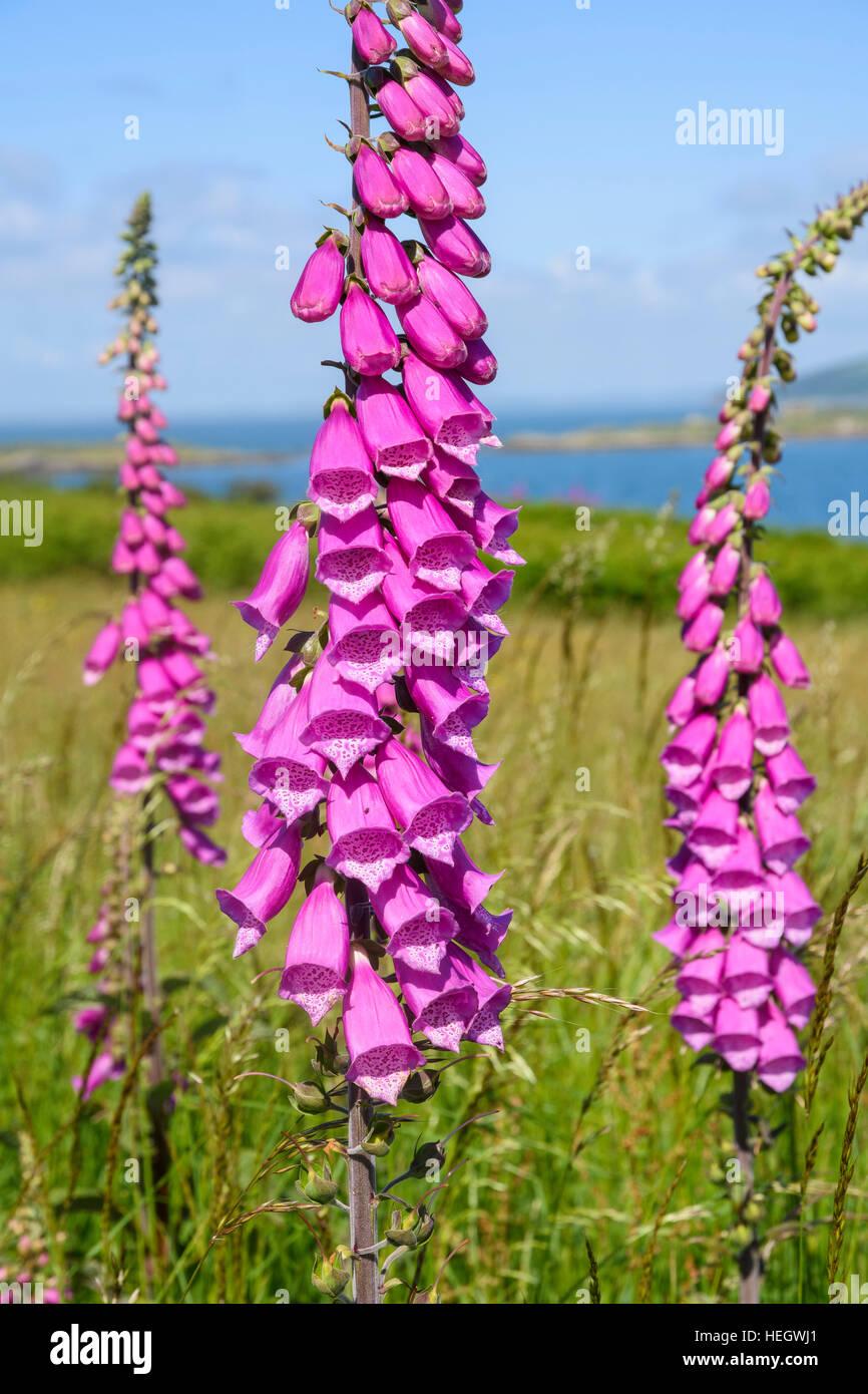 Foxglove, Digitalis purpurea, wildflower, Dumfries & Galloway, Scotland - Stock Image