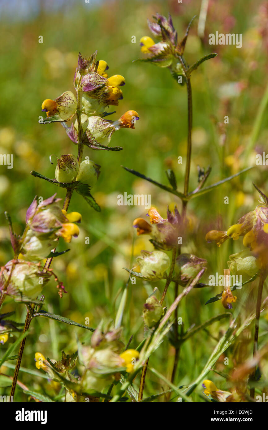 Yellow rattle, Rhinanthus minor, wildflower, Dumfries & Galloway, Scotland - Stock Image