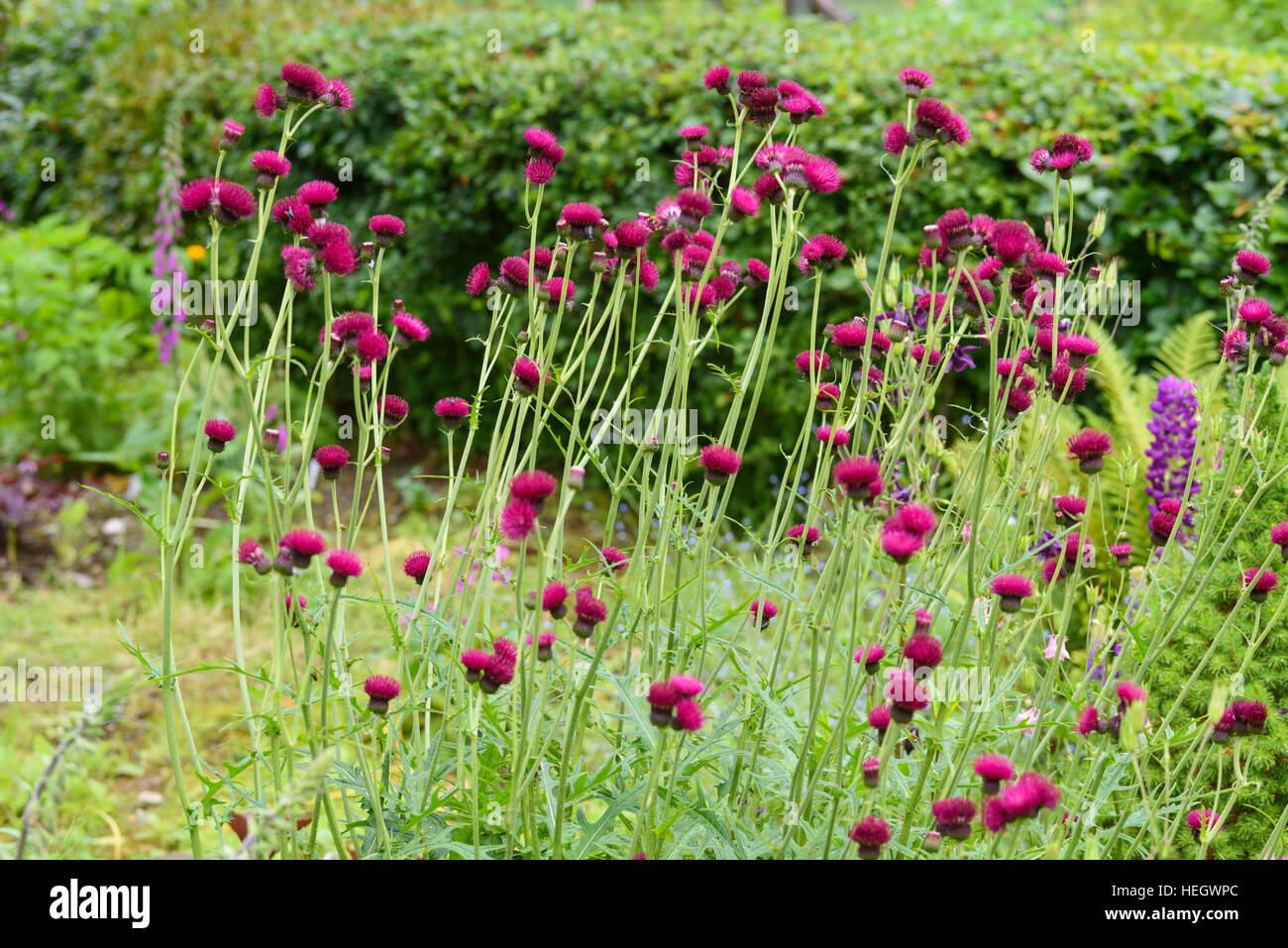 Cirsium rivulare Atropurpureum, cultivated garden flower - Stock Image