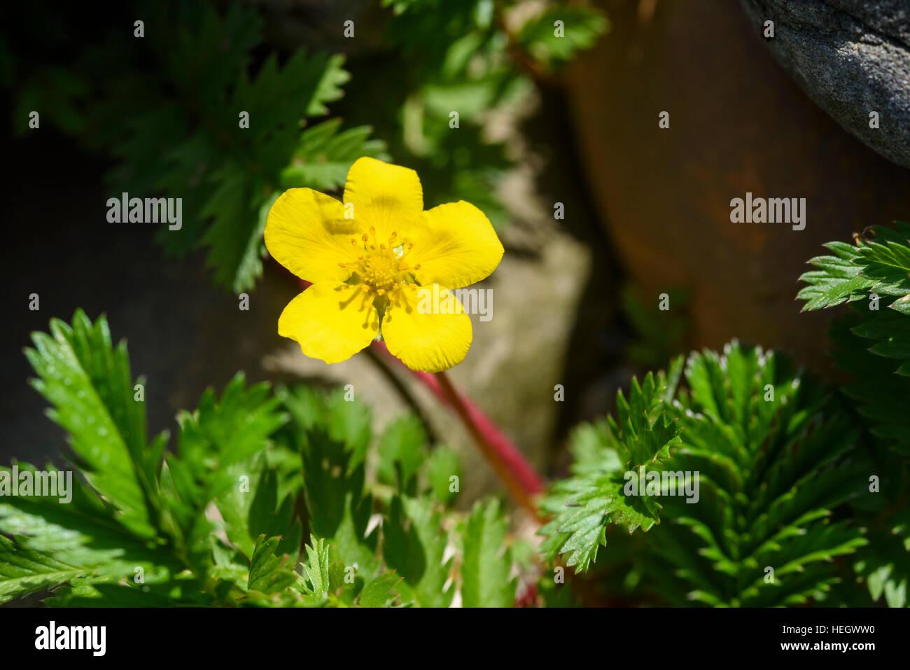 Silverweed, Potentilla anserina, wildflower, Carrick, Dumfries & Galloway, Scotland - Stock Image