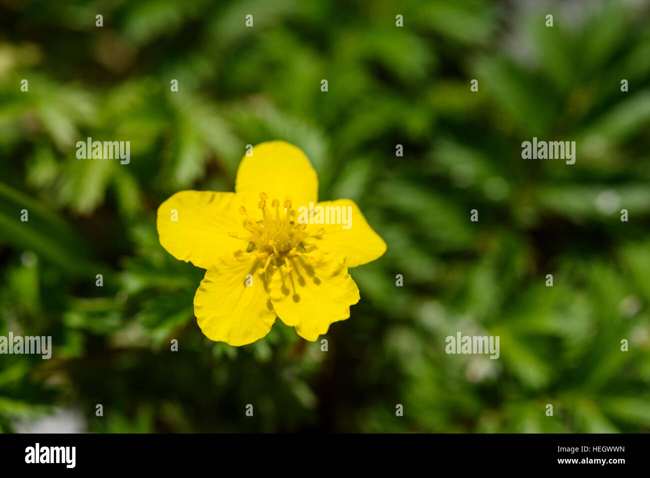 Silverweed, Potentilla anserina, wildflower, Carrick, Dumfries & Galloway, Scotland - Stock Image