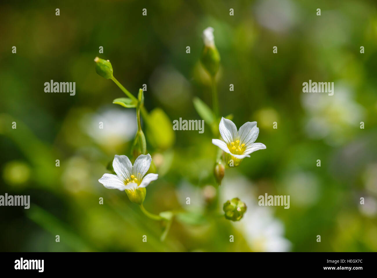 Fairy Flax, Linum catharticum, wildflower, Carrick, Dumfries & Galloway, Scotland - Stock Image