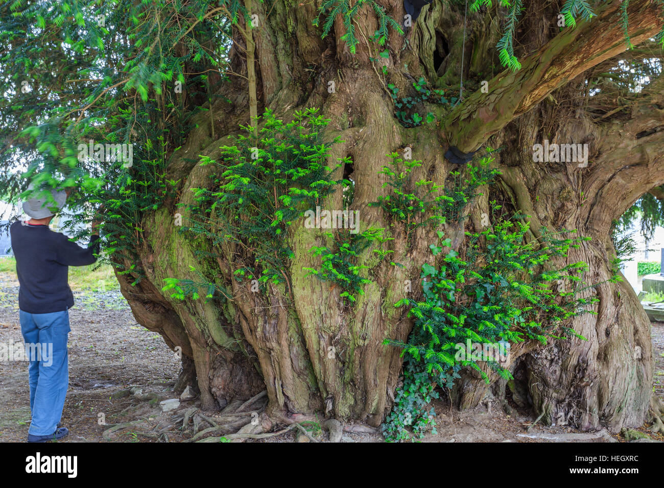 Yew millennium, Taxus baccata, France, Calvados, Estry - Stock Image