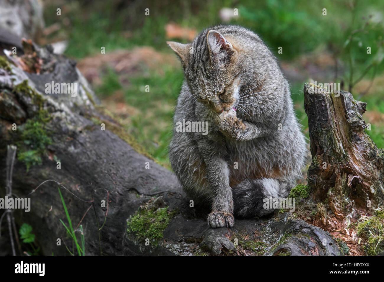 European wildcat (Felis silvestris silvestris) licking forepaw in forest - Stock Image