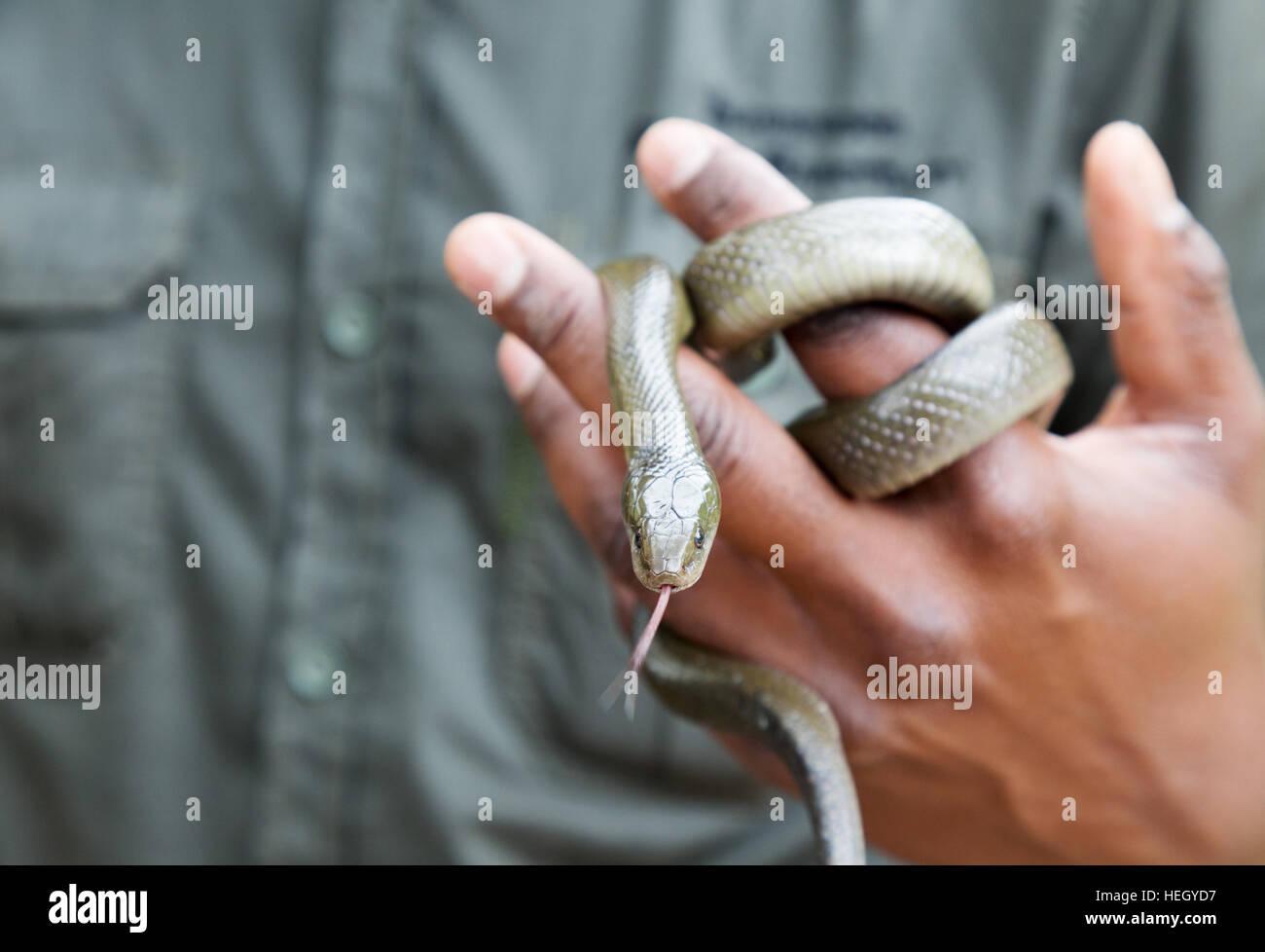 Snake Handler Handling A Non Venomous Cape House Snake