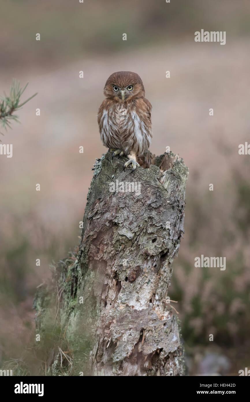 Ferruginous Pygmy Owl / Brasil-Sperlingskauz ( Glaucidium brasilianum ), perched on a rotten tree stump, looks forceful - Stock Image