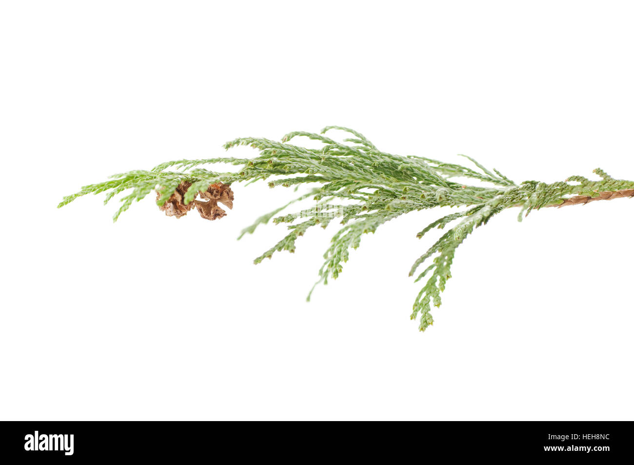 a twig of cypress on a white background - Stock Image