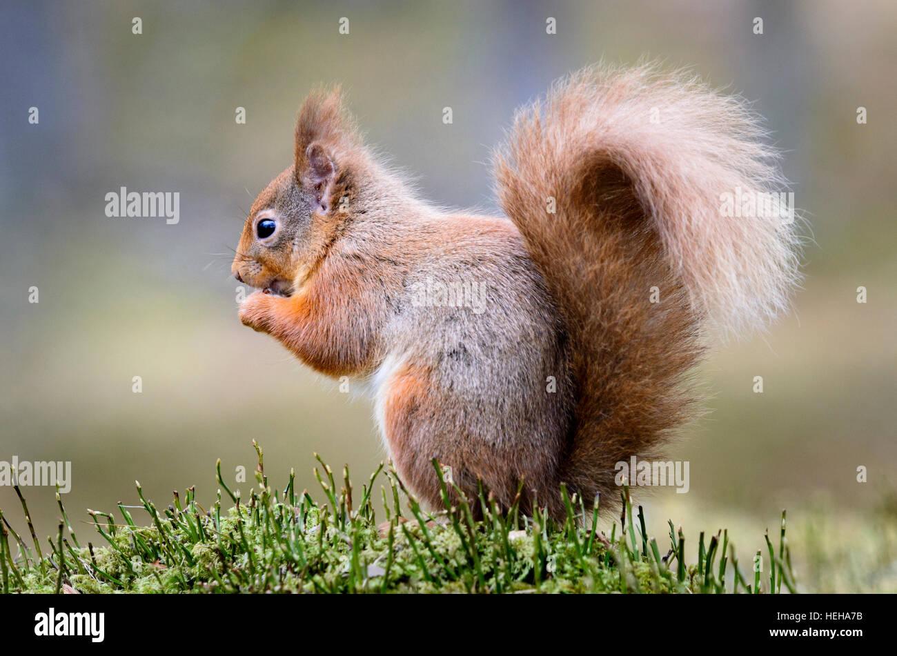 Red Squirrel, Sciurus vulgaris - Stock Image