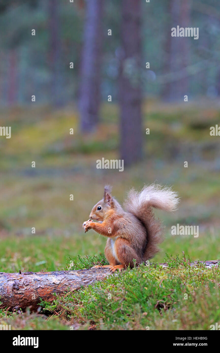 Red Squirrel eating in winter - Stock Image
