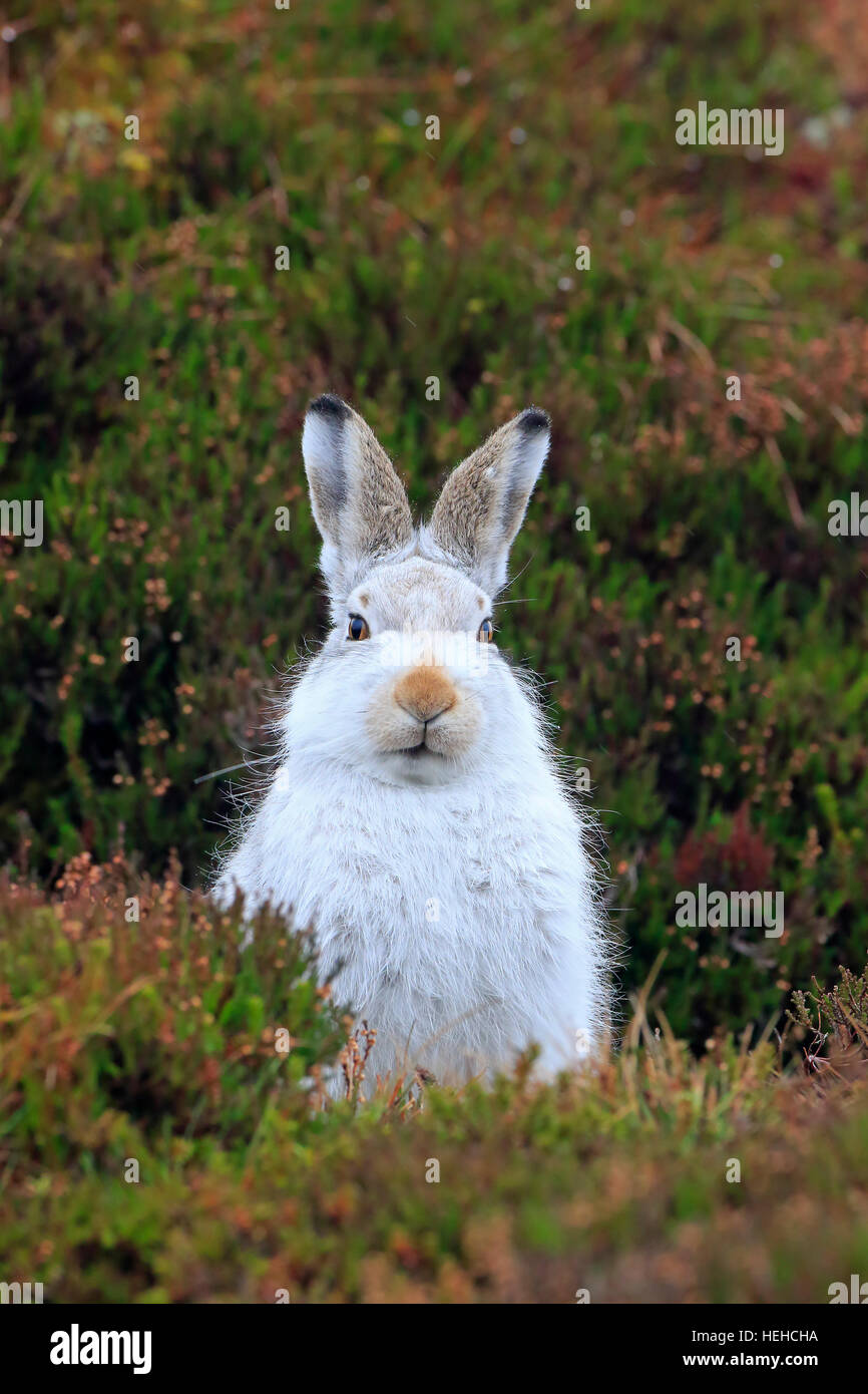 Mountain Hare in winter coat on a Scottish moorland - Stock Image
