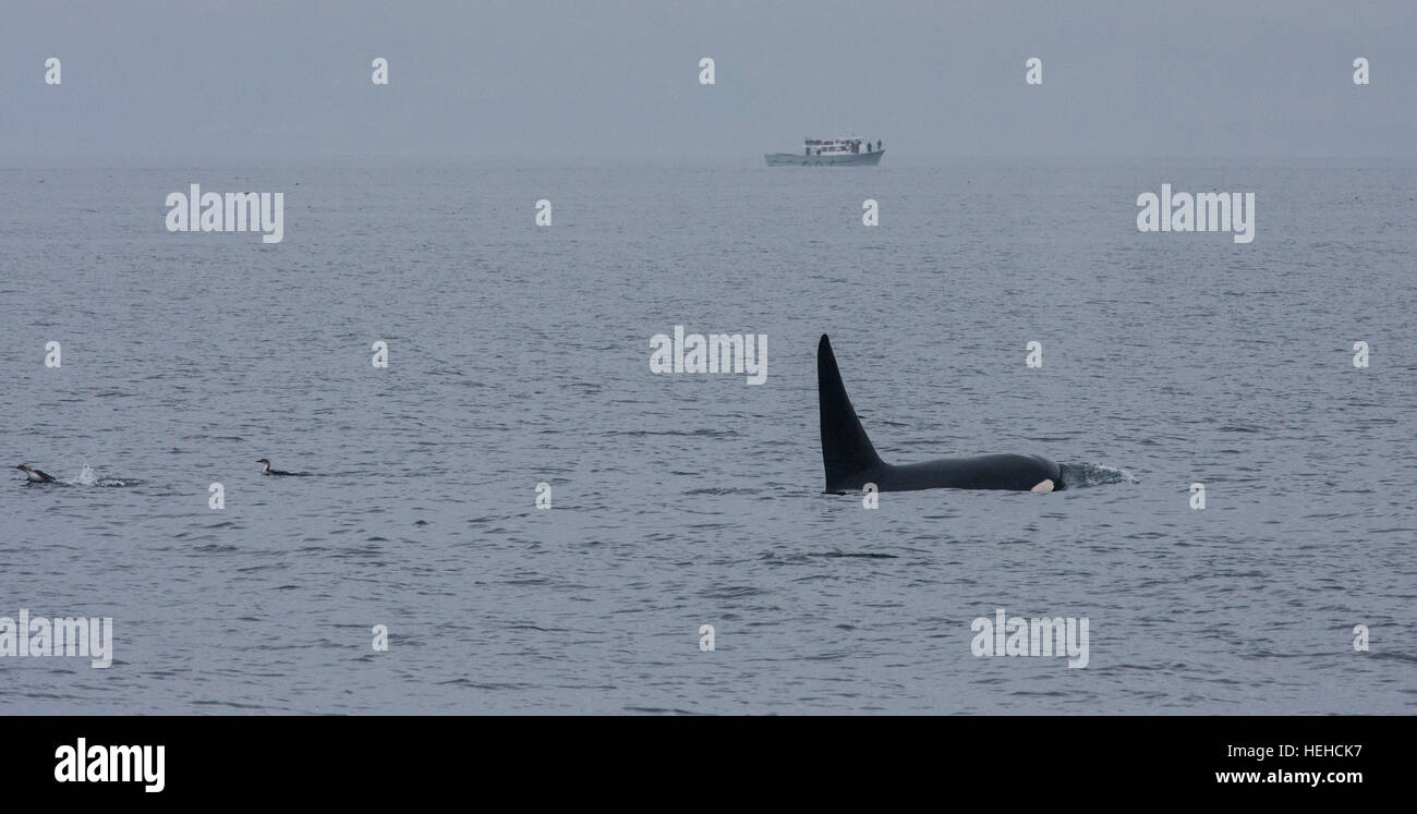 Orca Killer whale fin Whale spotted on a whale watching trip from Monterey Harbour,Harbor,California. - Stock Image