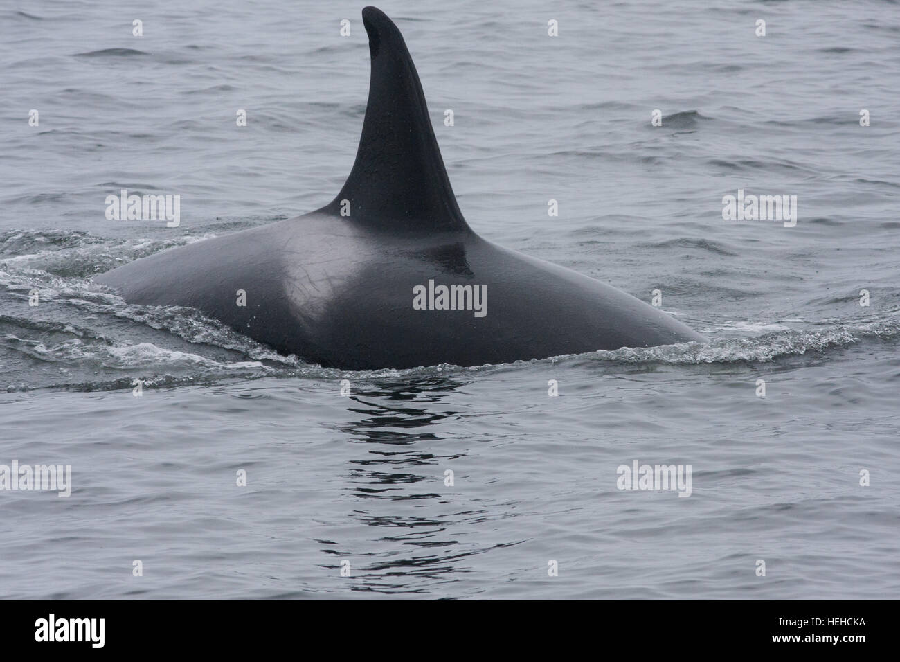 Whale spotted on a whale watching trip from Monterey Harbour,Harbor,California. - Stock Image