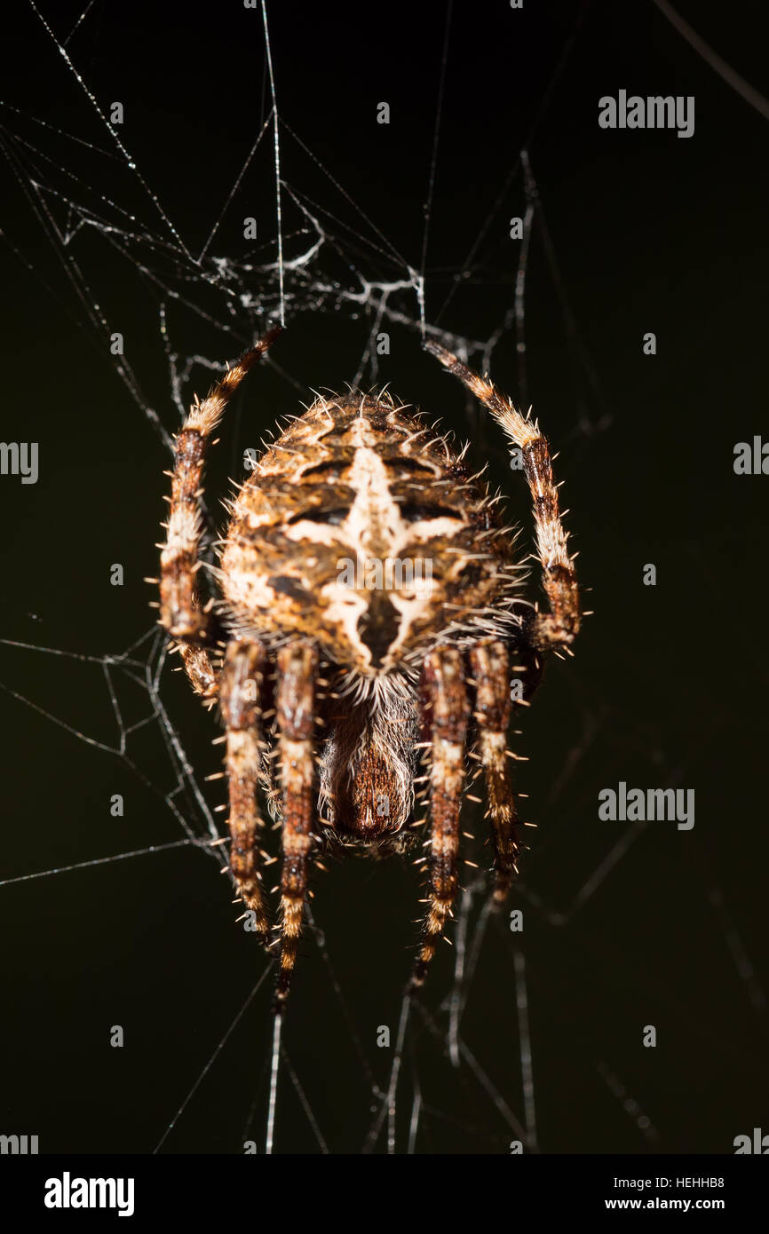 Darwin's bark spider (Caerostris darwini), orb-weaver spider that produces one of the largest known orb webs. - Stock Image