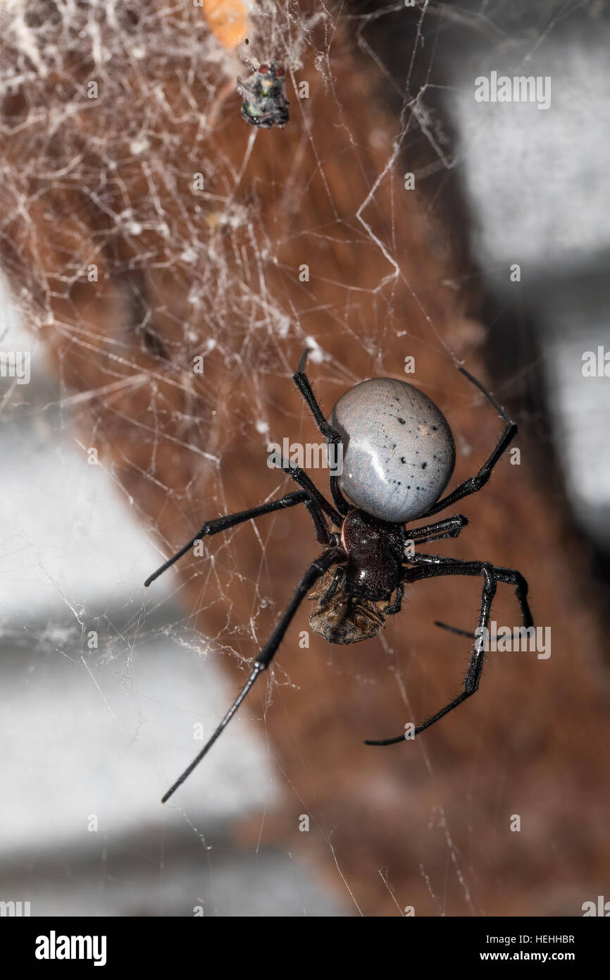 big white spider Nephilengys livida is a nephilid spider they are common in human dwellings. Masoala National park, - Stock Image