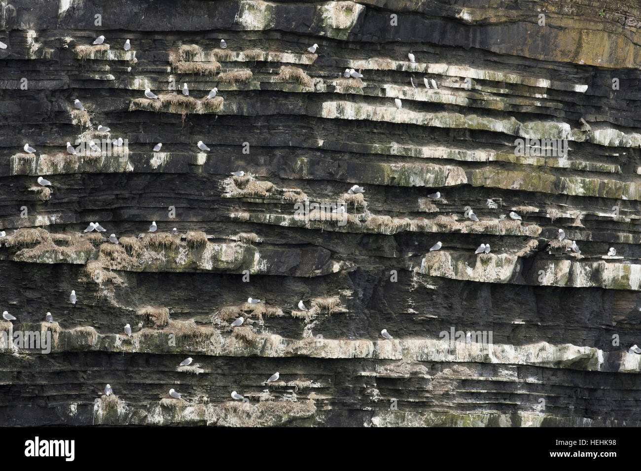 Kittiwake; Rissa tridactyla Colony; Porthmissen; Cornwall; UK - Stock Image