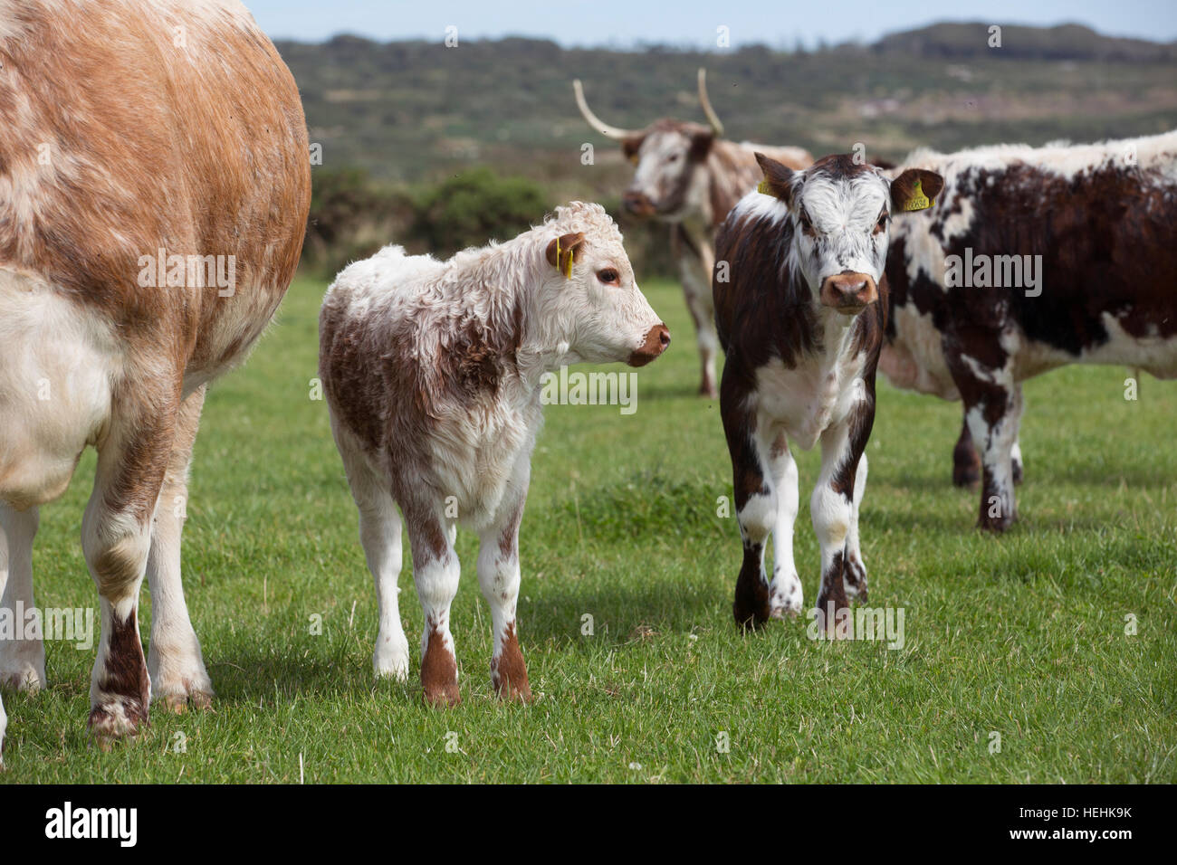 Longhorn Cattle; Trewern Farm; Cornwall; UK - Stock Image