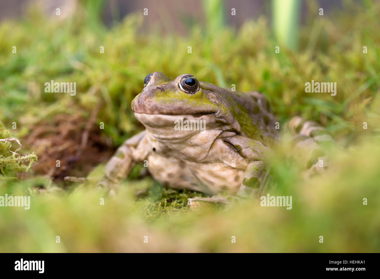 Marsh Frog; Pelophylax ridibundus Single UK - Stock Image