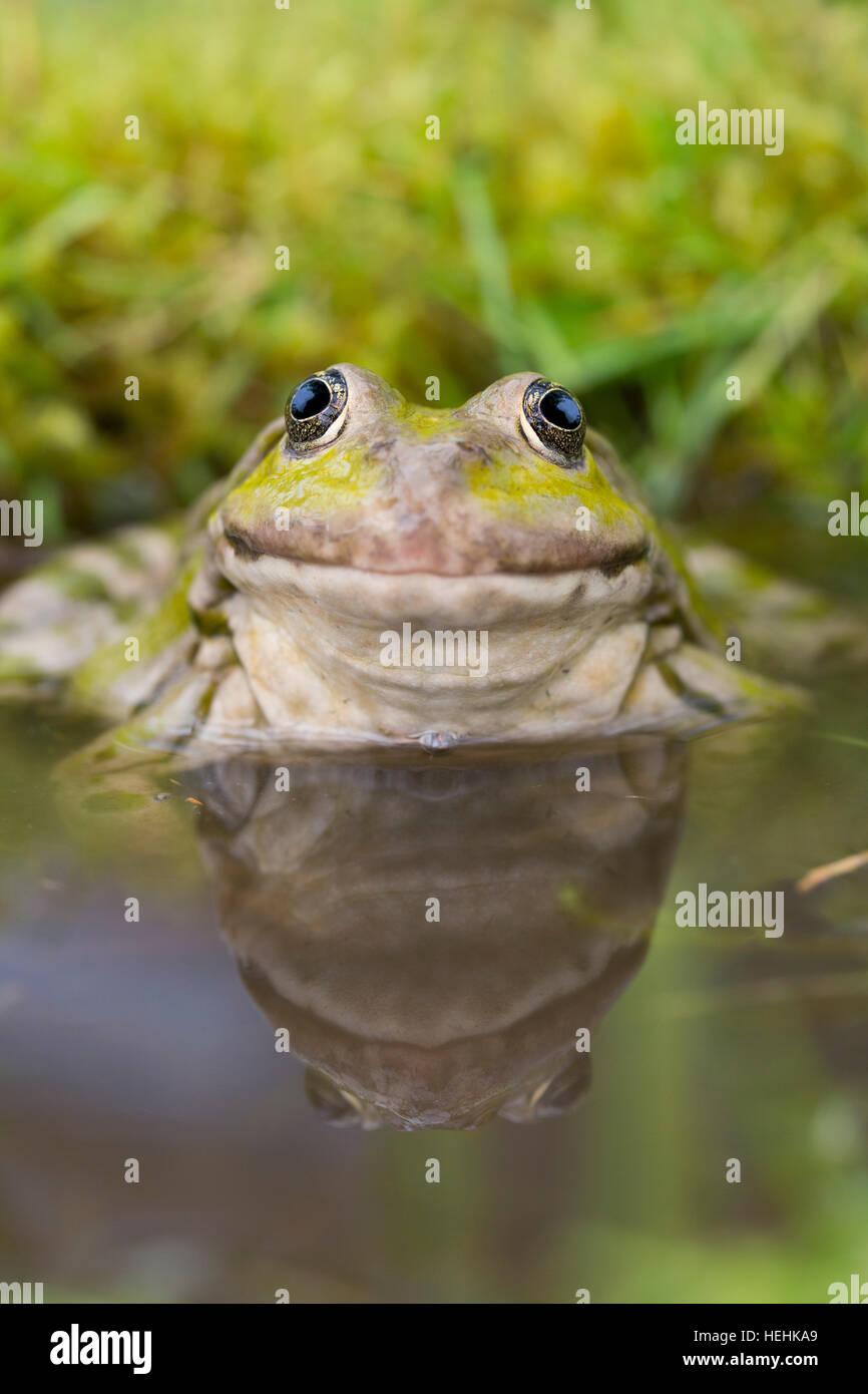 Marsh Frog; Pelophylax ridibundus Single in Water UK - Stock Image