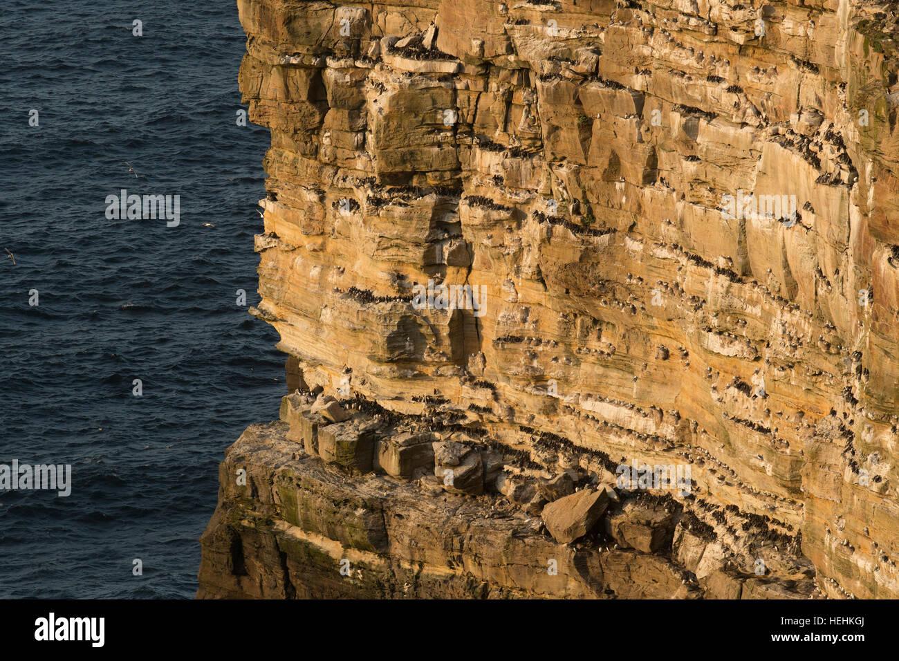 Seabirds; Colony; Dunnet Head; Scotland; UK - Stock Image