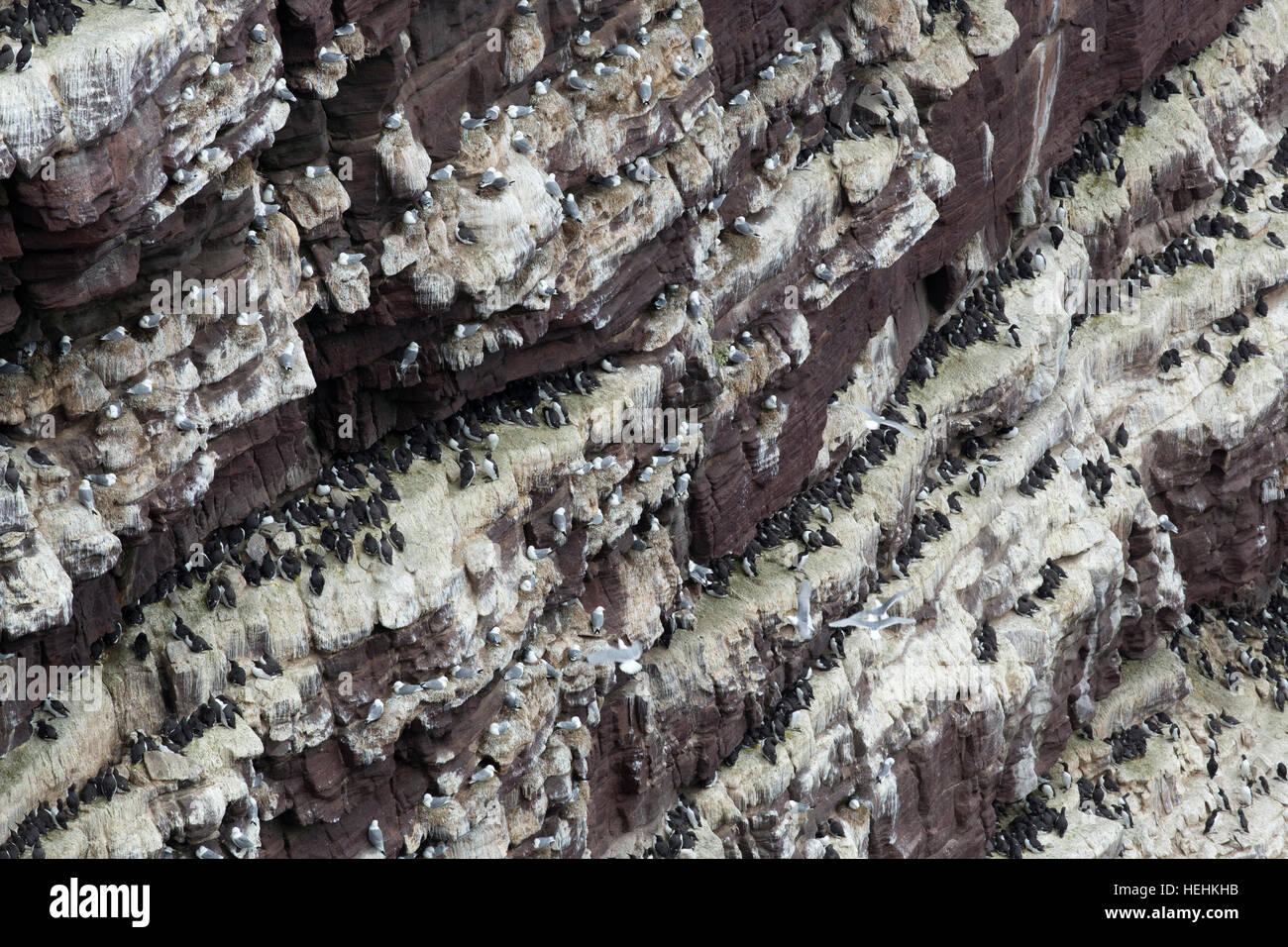 Seabirds; Colony; Handa; Scotland; UK - Stock Image