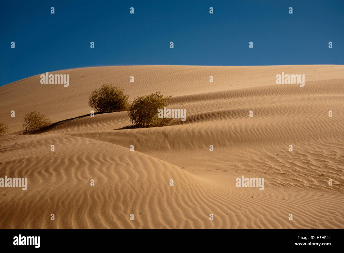 Imperial Dunes in the late afternoon with wind ripples and three creosote bushes.  These high dunes are constantly - Stock Image