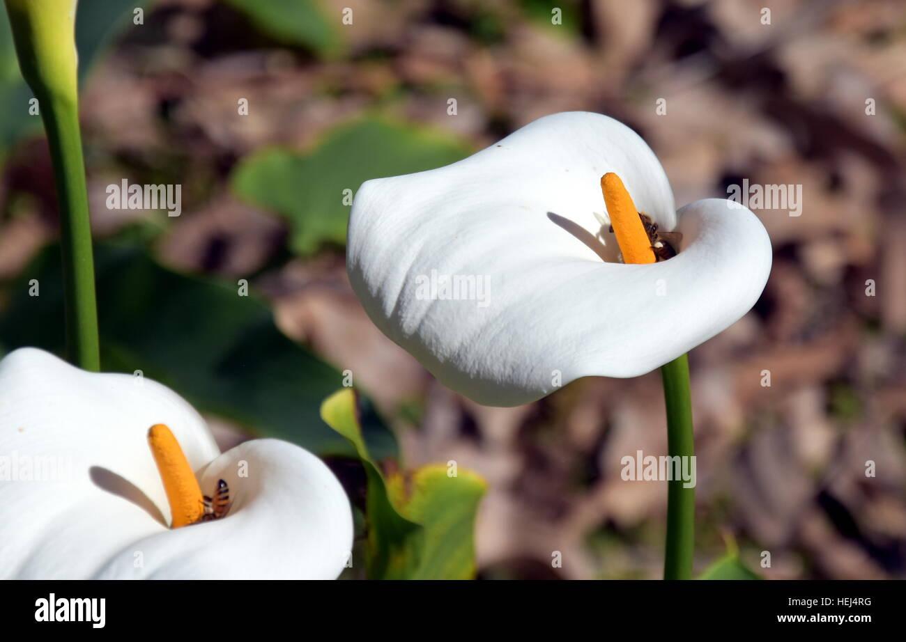 Arum Or Calla Lily Zantedeschia In A Flowerbed Calla Flowers