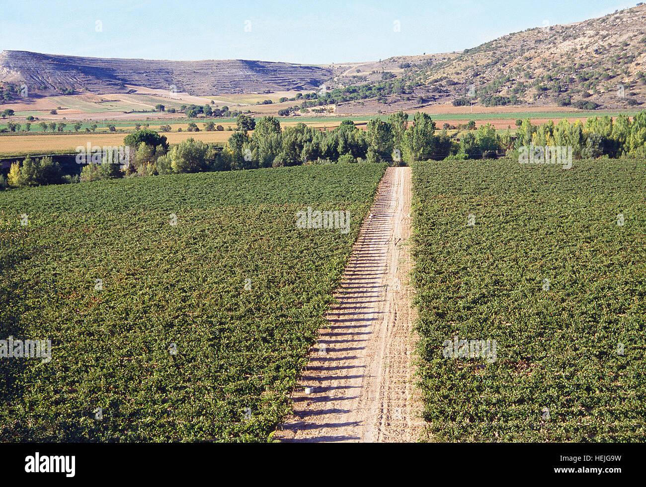 Vineyards. Ribera del Duero, Valladolid province, Castilla Leon, Spain. - Stock Image