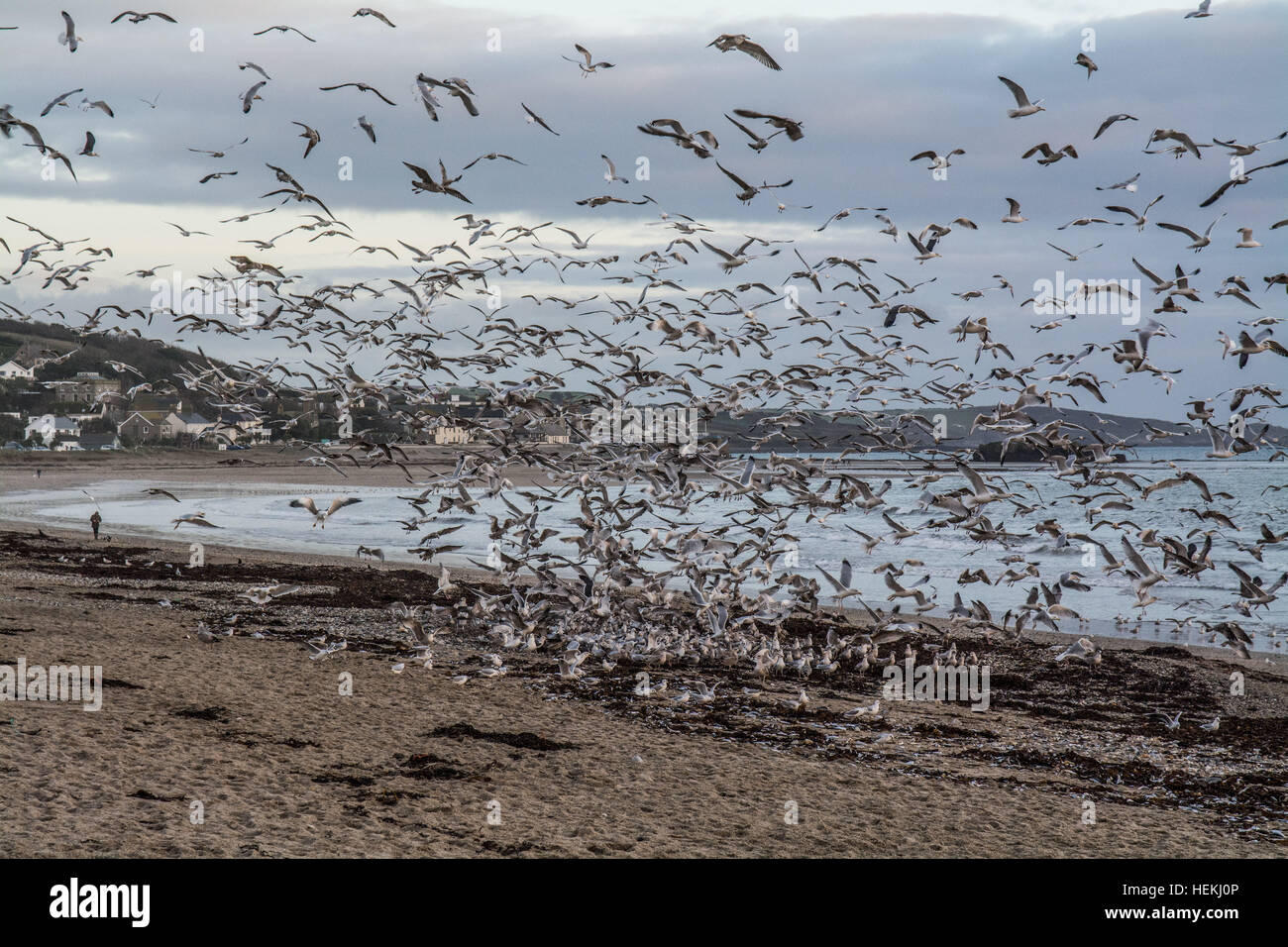 Marazion, Cornwall, UK. 22nd December 2016. The most likely reason for the tens of thousands of dead fish that were - Stock Image