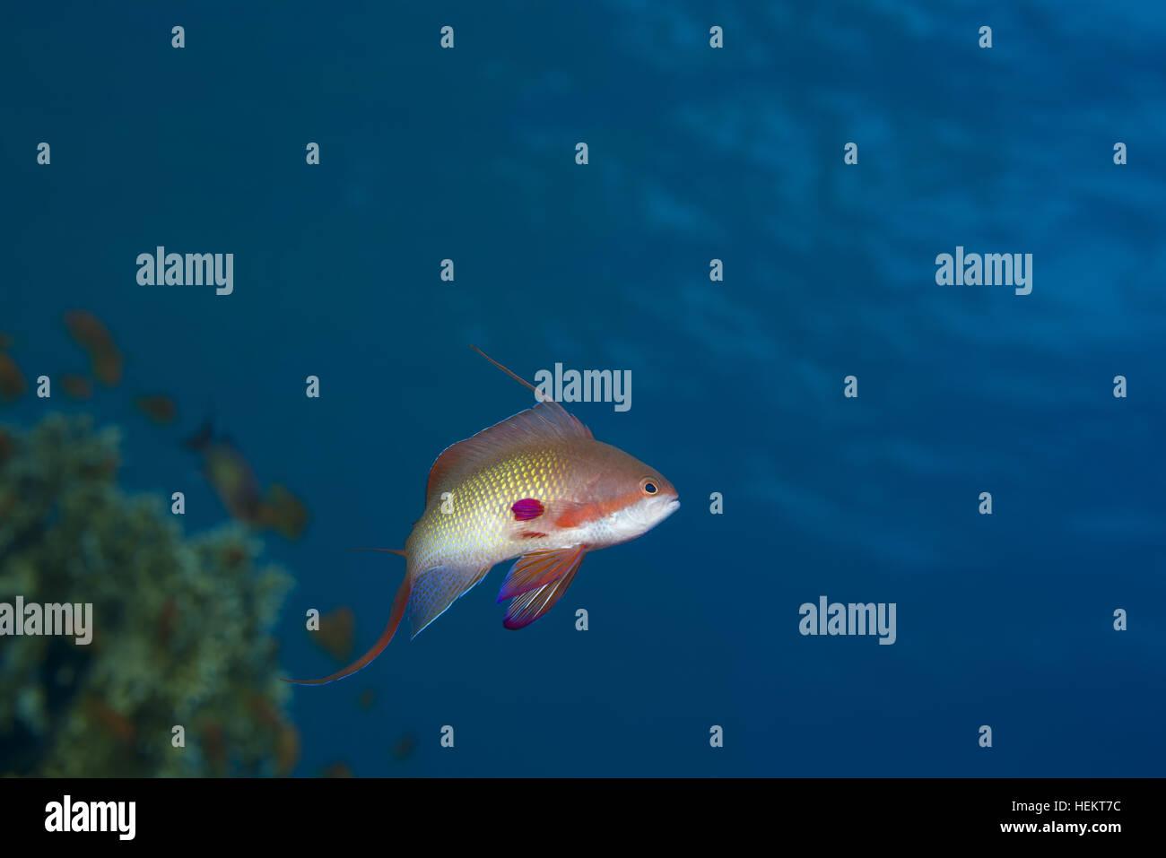 Red Sea, Egypt. 9th Nov, 2016. Male sea goldie, lyretail coralfish, lyretail anthias or scalefin anthias (Pseudanthias - Stock Image