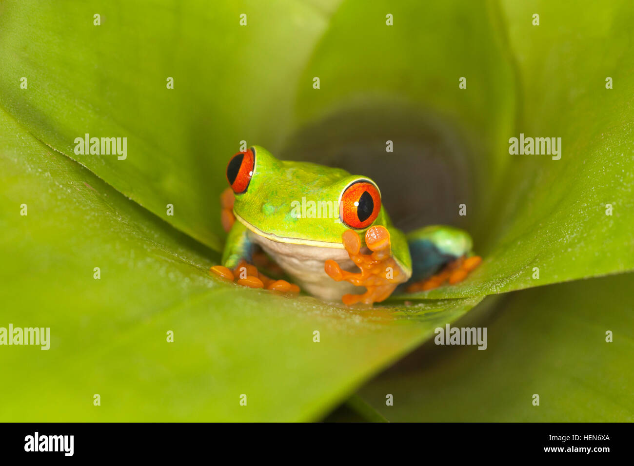 Red-eyed Tree frog (Agalychnis callidryas)walking up out of bromeliad in northern Costa Rica - Stock Image
