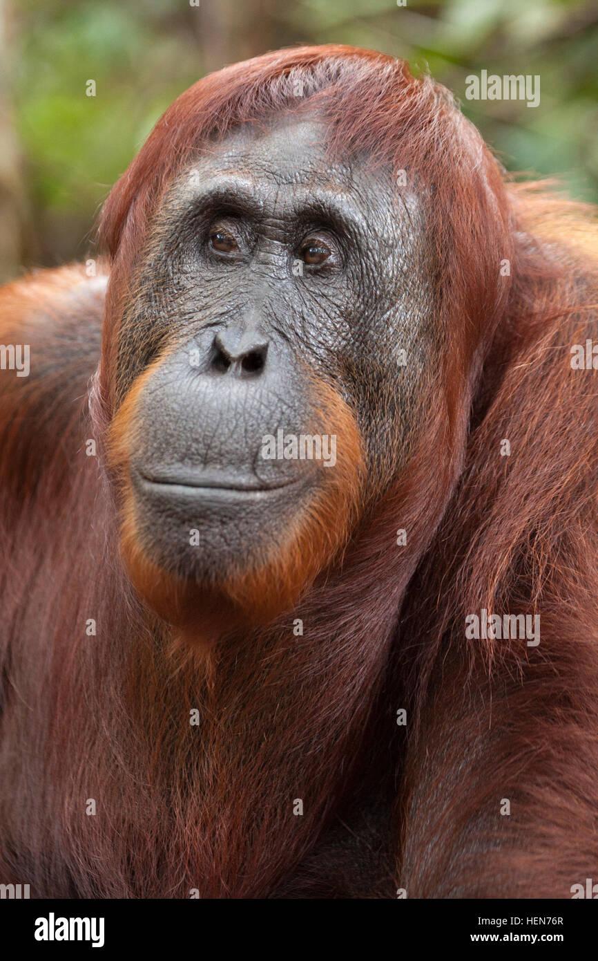 Wild Bornean Orangutan (Pongo pygmaeus) - Stock Image