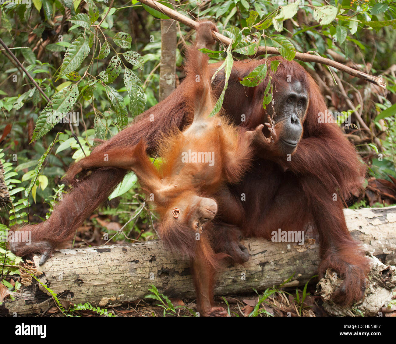 Wild Bornean Orangutan (Pongo pygmaeus) baby hanging from tree branch and playing with mother - Stock Image