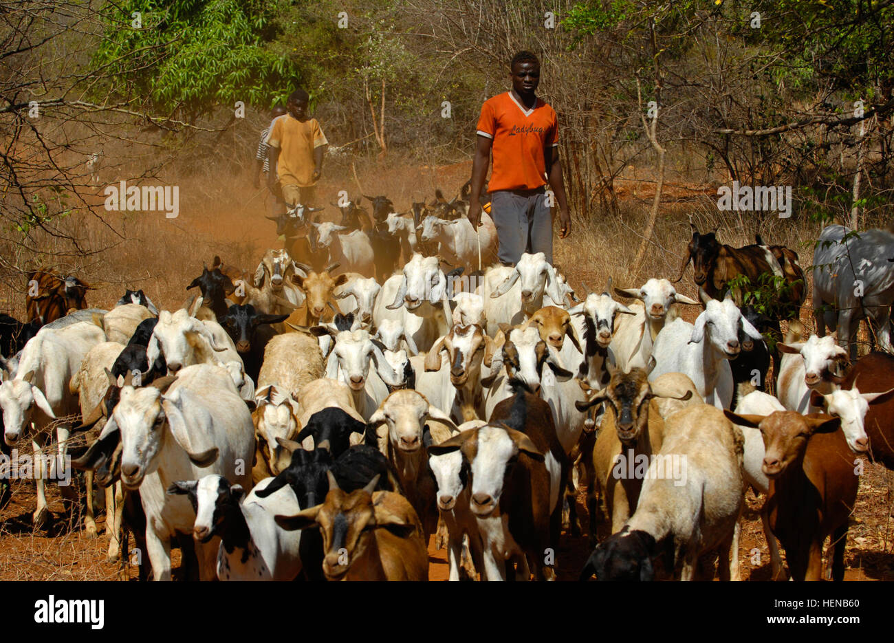 Local herdsman arrive at a 'cattle crush' with goats that will be treated by Kenyan veterinary staff for various Stock Photo