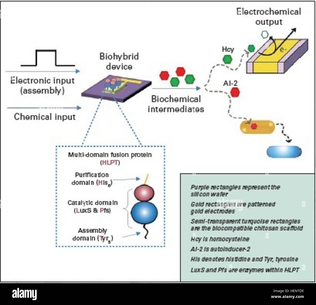 Biohybrid device controlled by electronic signals - The biohybrid device receives both chemical (enzyme reaction - Stock Image