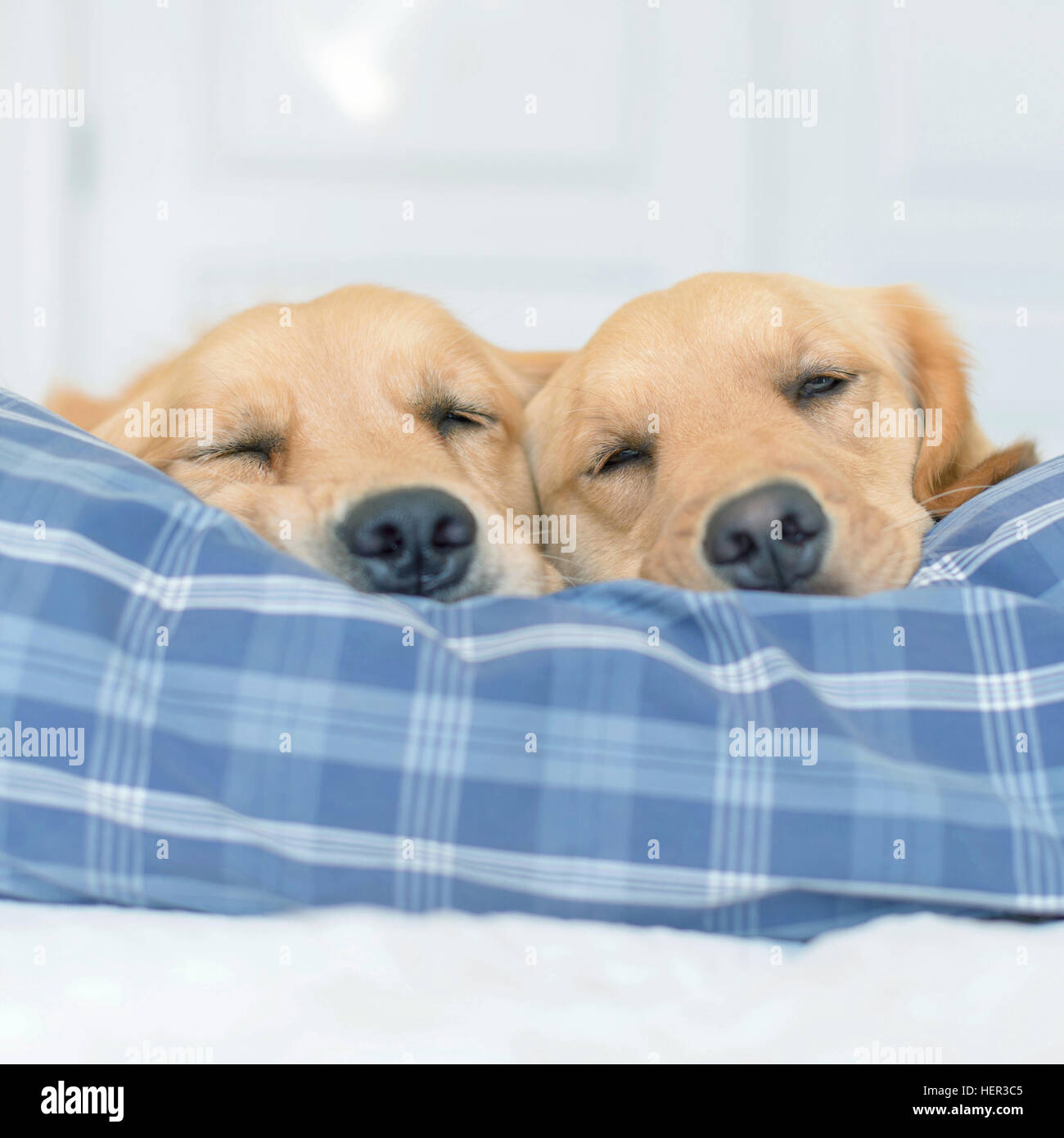 Two golden retriever dogs sleeping on a bed - Stock Image