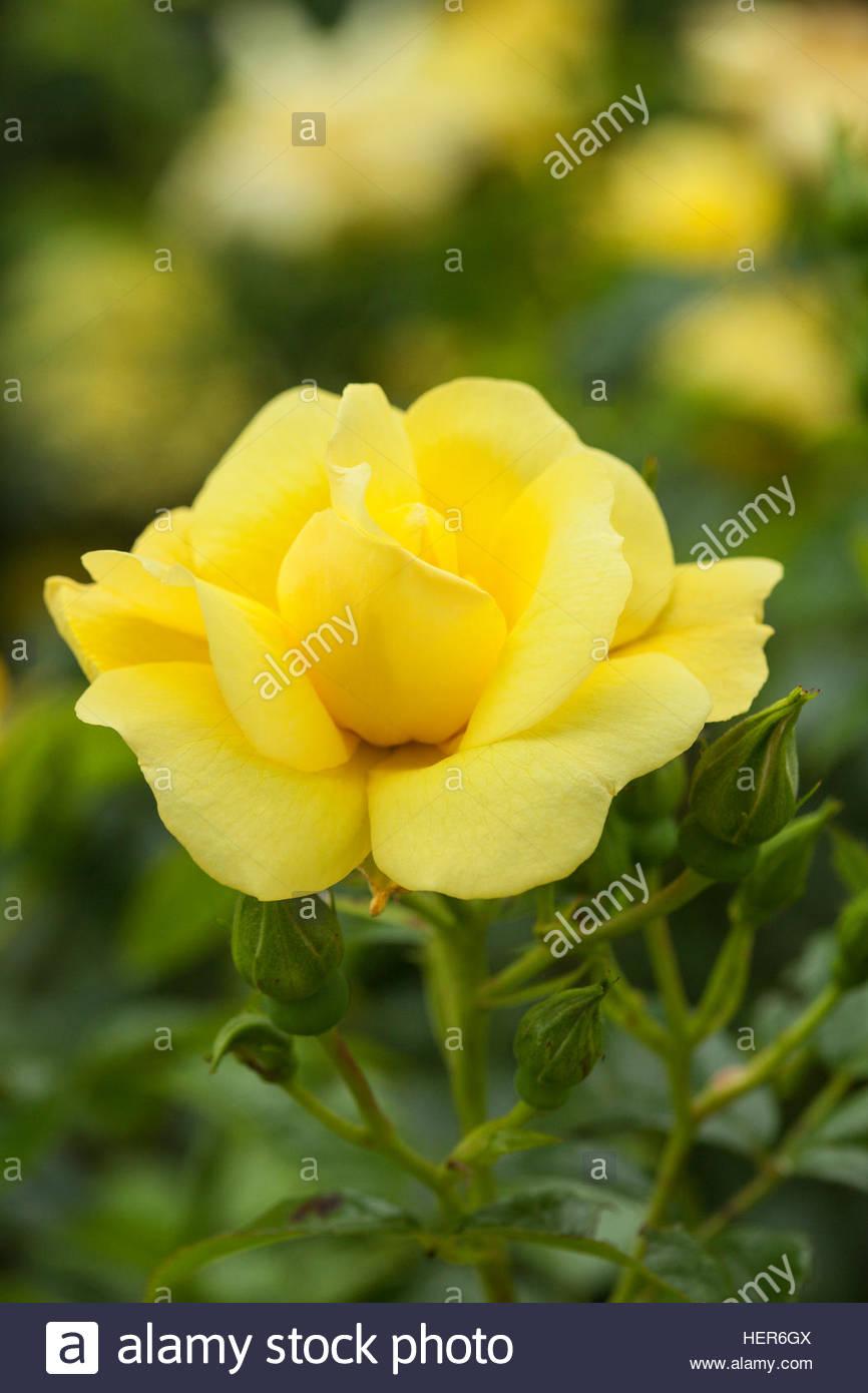 Yellow flower carpet rose stock photos yellow flower carpet rose rosa flower carpet gold noalesa stock image mightylinksfo