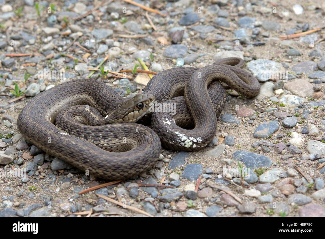 Brown Racer Snake Stock Photo 129588548
