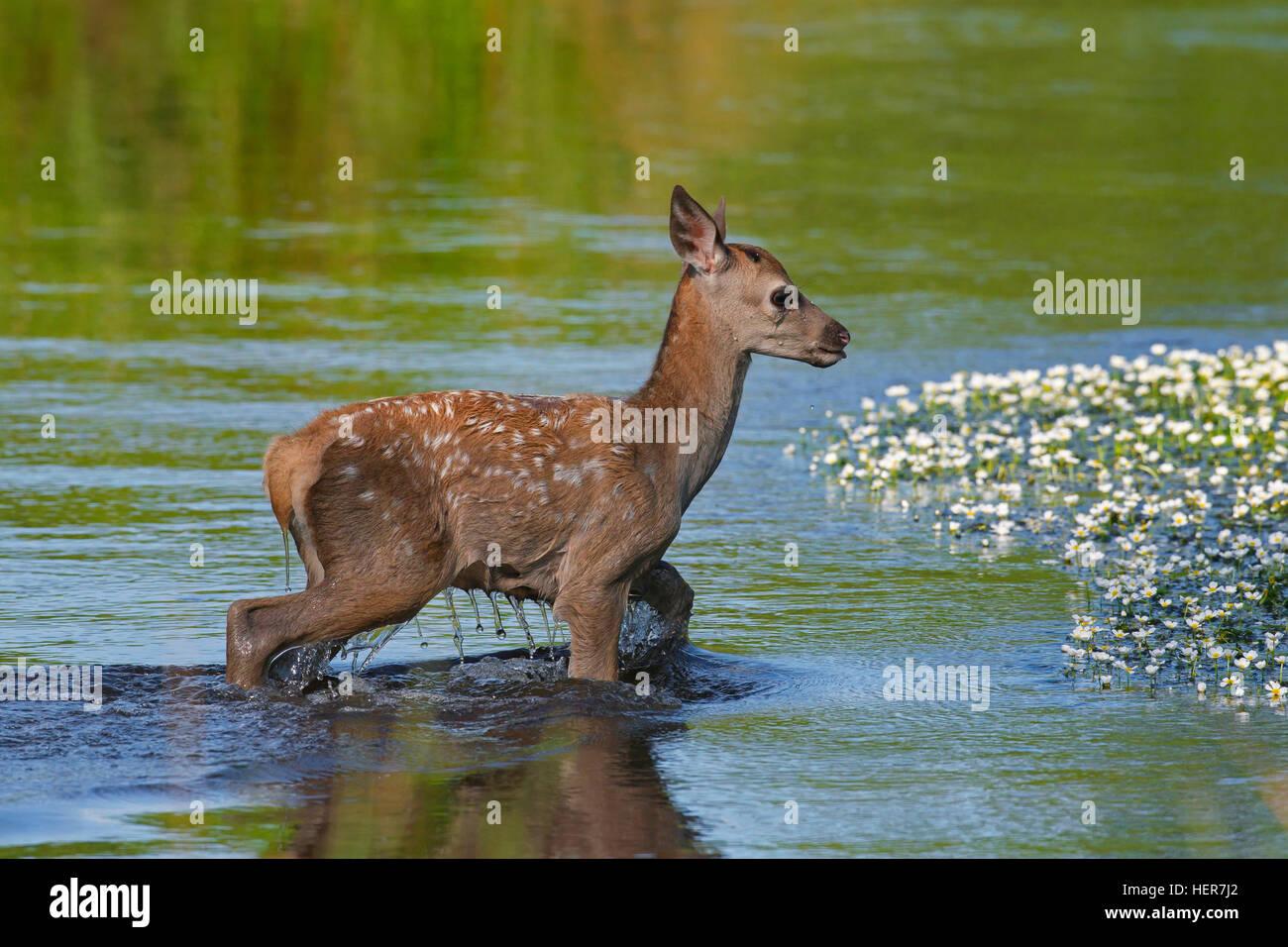 Red deer (Cervus elaphus) calf crossing river in summer - Stock Image