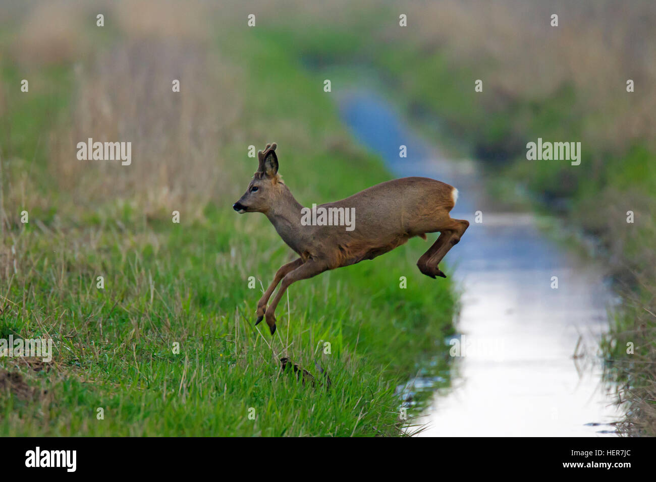 European roe deer (Capreolus capreolus) buck with antlers covered in velvet jumping over brook running through grassland - Stock Image