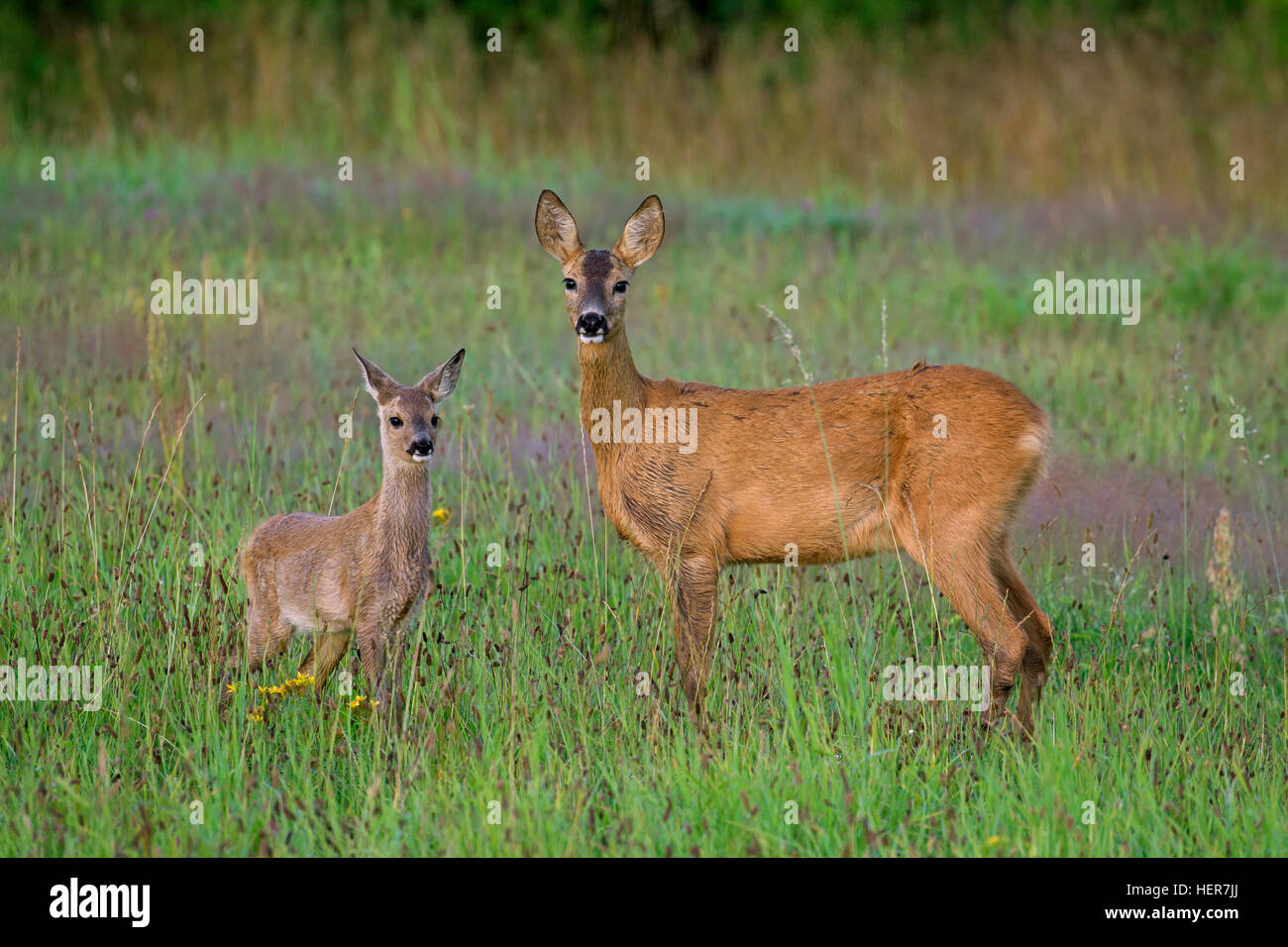 European roe deer (Capreolus capreolus) female with fawn in grassland at forest's edge in summer - Stock Image