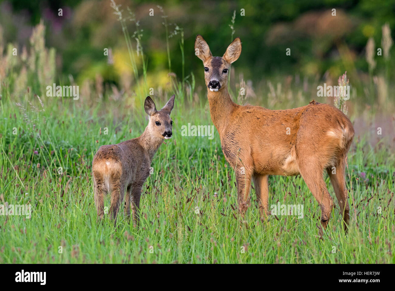 European roe deer (Capreolus capreolus) female with fawn in grassland at forest's edge in summer Stock Photo