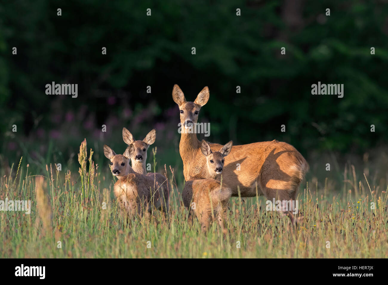 European roe deer (Capreolus capreolus) female with three fawns in grassland at forest's edge in summer - Stock Image